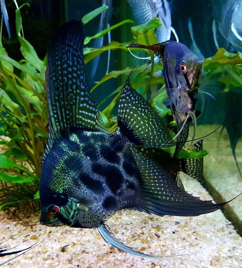 What Is The Difference Between Pinoy And The Usual Scalar What Is The Difference Between Pin In 2020 Aquarium Fish Tropical Fish Aquarium Tropical Freshwater Fish