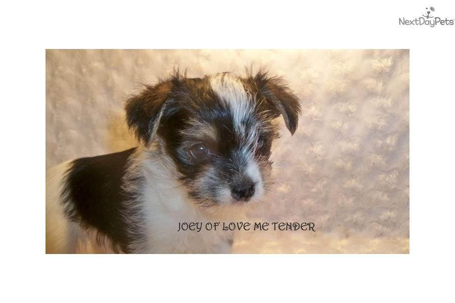 Meet Joey A Cute Morkie Yorktese Puppy For Sale For 600 Black White Parti Male Morkie Morkie Puppies Puppies For Sale