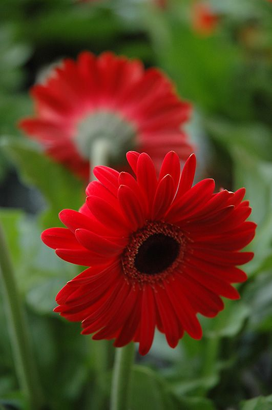 Red Gerbera Daisy Gerbera Red At Chalet Nursery