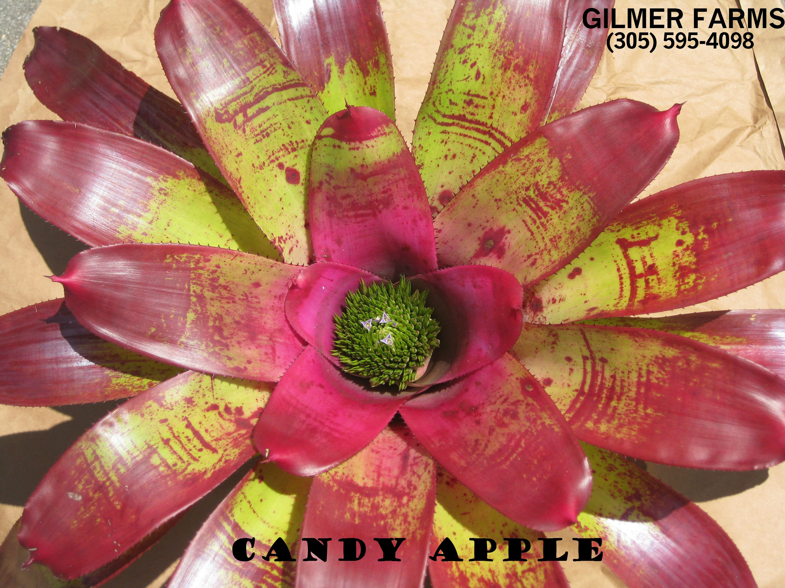 Candy Apple - New batch just arrived