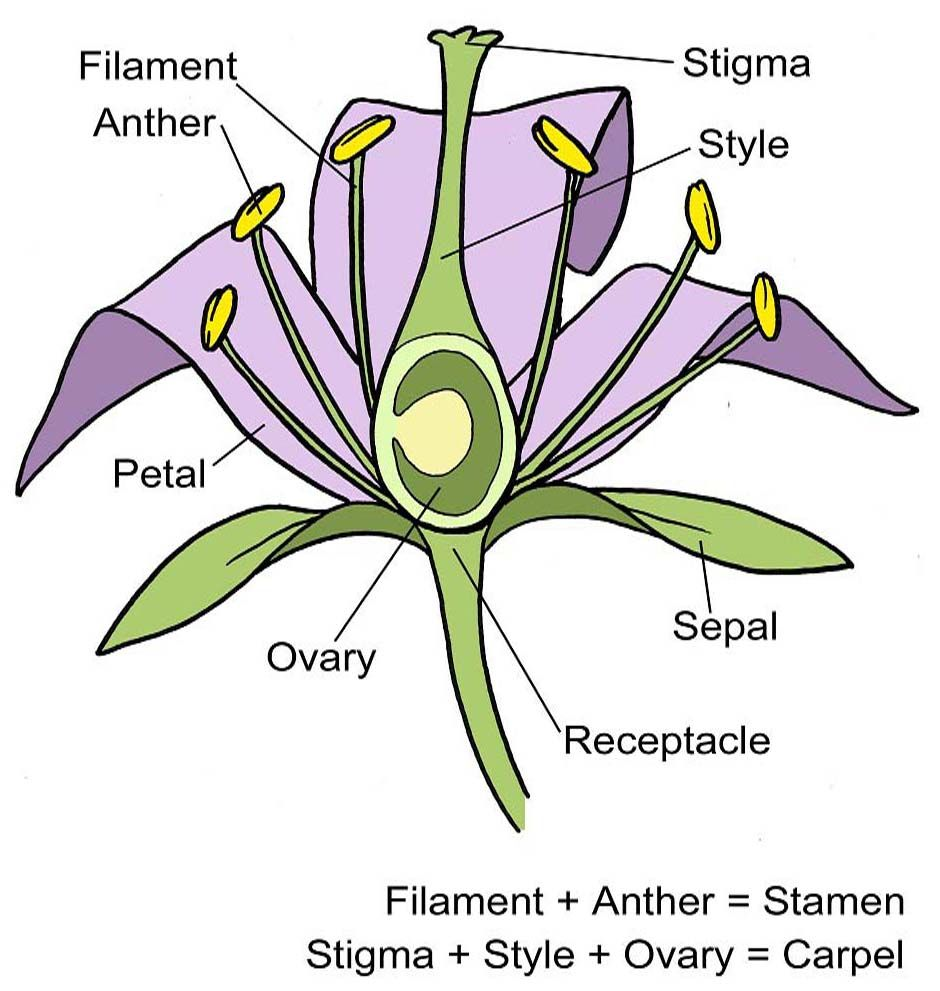 A Flower Structure Diagram Including A Blank Copy For Your Students To Write On Rhs Campaign For Schoo Diagram Of A Flower Flower Structure Parts Of A Plant