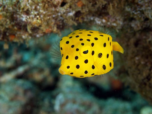 Lembeh Indonesia Many Pics Report Cow Fish Sea Fish Weird Animals