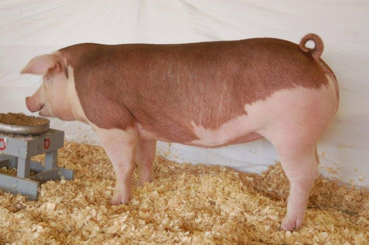 Image result for Yorkshire, Wattle pIGS