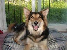 Image Result For German Shepherd X Border Collie Shollie Puppy