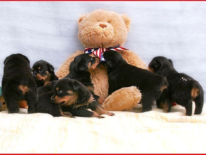 Silverhill Rottweilers In Kenly Nc On American Kennel Club