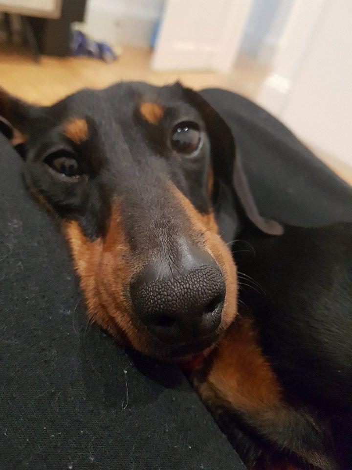 Available dogs dachshund rescue australia dachshund