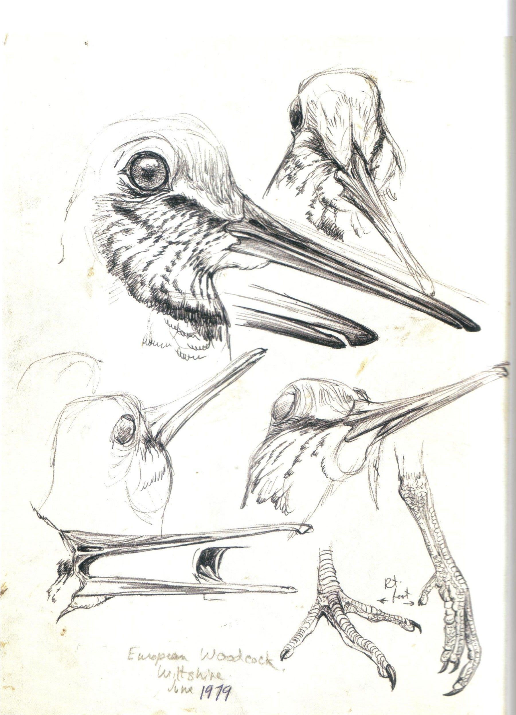 Woodcock Robert Bateman