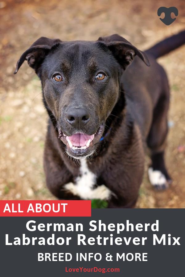 German Shepherd Labrador Mix Sheprador Puppies Prices More Labrador Mix German Shepherd Lab Mix German Shepherd