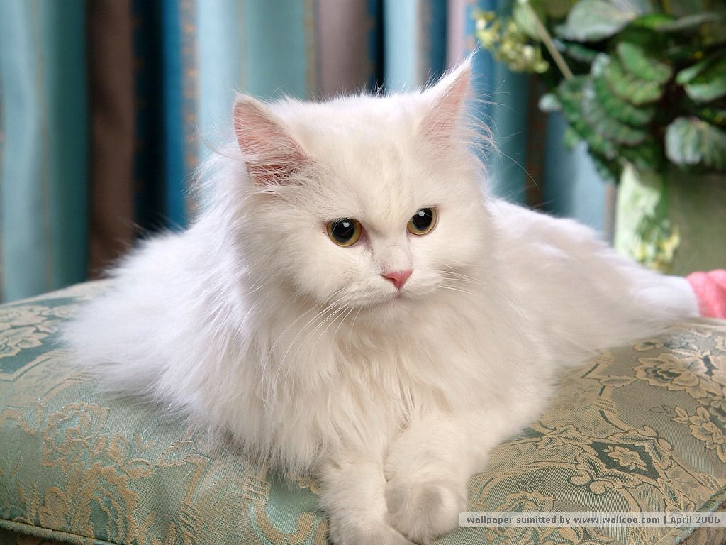 Persian Cat Wallpaper Learn more about how to care for cats at