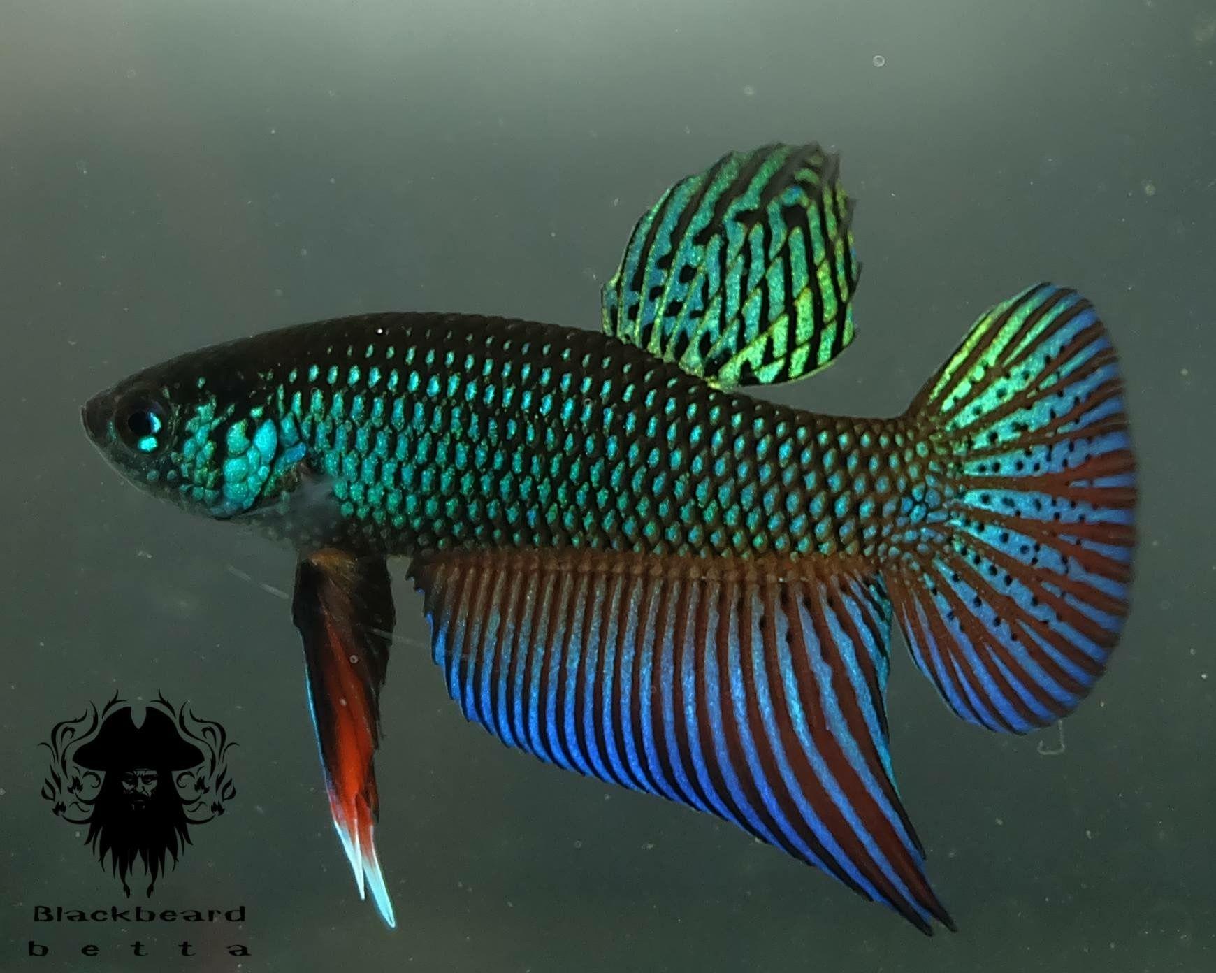 Pin by blackbeard betta on wild betta of siam pinterest for Wild betta fish