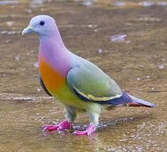Colorful pigeon - Google Search