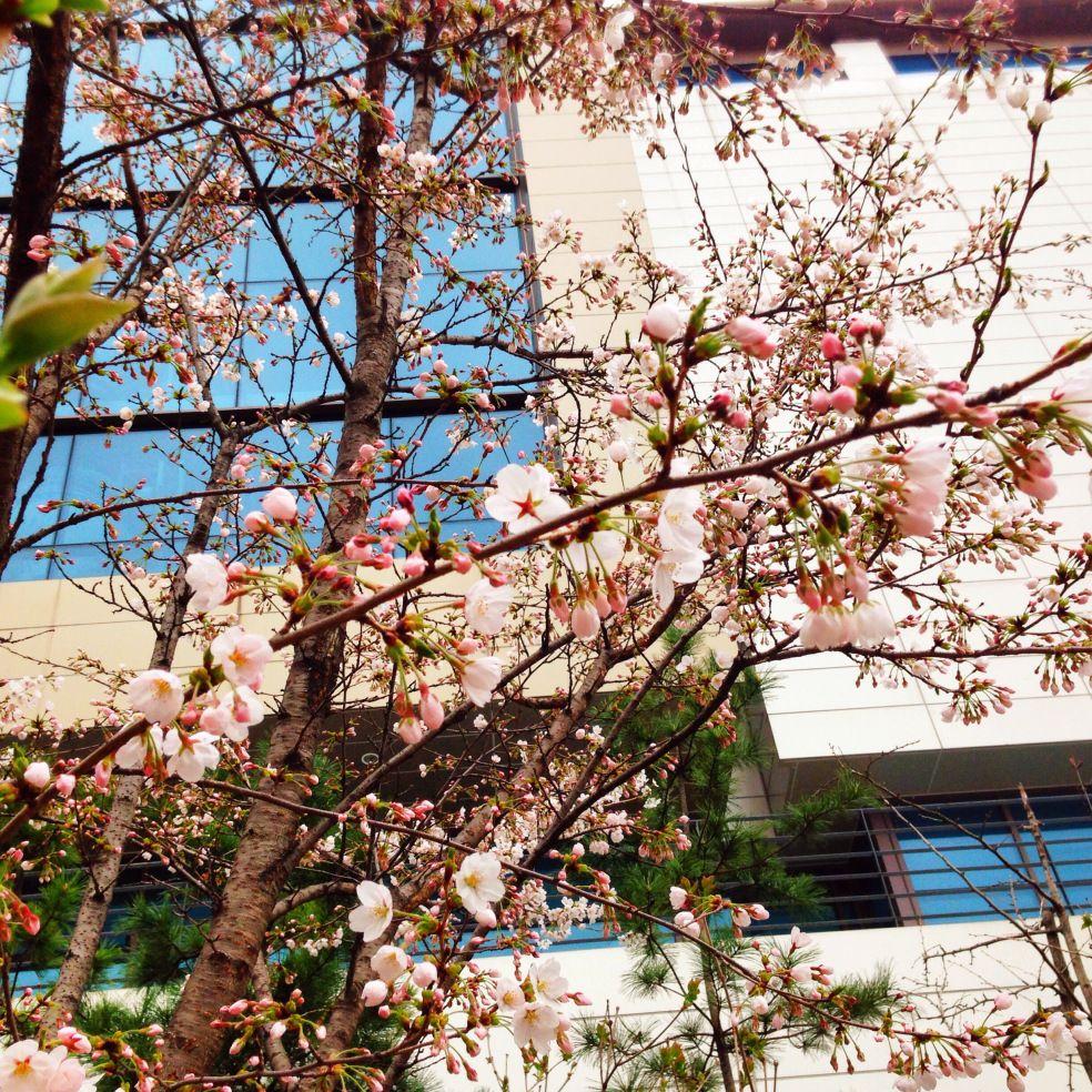 Spring Fever In Seoul South Korea Cherry Blossoms Cherry Blossom Spring Fever Blossom