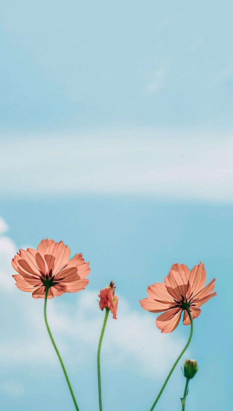 Beautiful Flowers Mobile Wallpaper Super Nice Phone Wallpaper Flowers The Arrival Of Spring Flower Background Wallpaper Spring Wallpaper Wallpaper Flowers