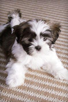 Shih Tzu And Maltese Mix Puppies Maltese Shih Tzu Shih Tzu Dog