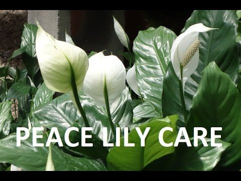 Peace Lily How To Care Indoor House Plant Spathiphyllum Best Indoor Houseplant Youtube Peace Lily Plant Care Peace Lily Plant Spathiphyllum Care