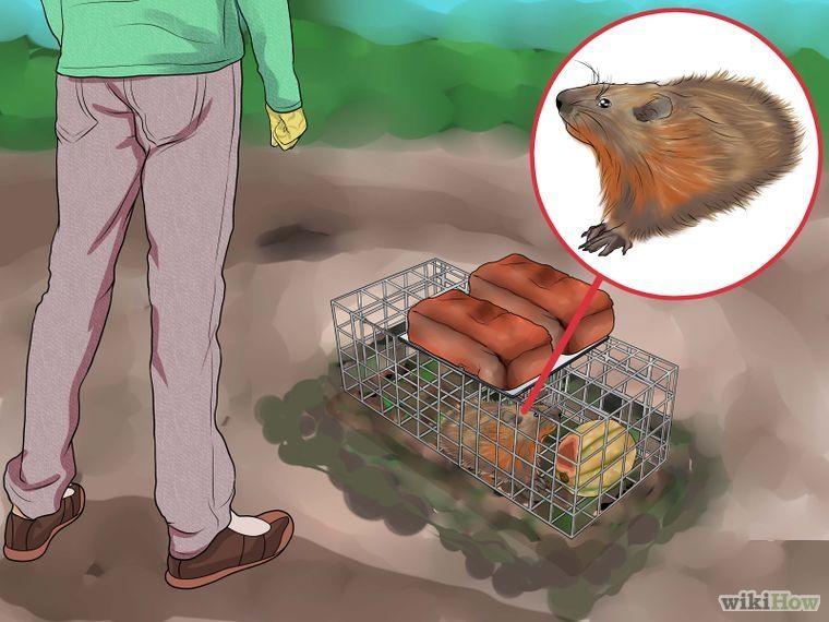 Get Rid of Groundhogs Get rid of groundhogs, Groundhog