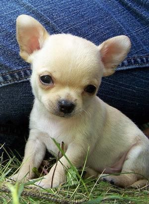 Pictures Of Apple Head Chihuahua Buy Smallish Size Chihuahua