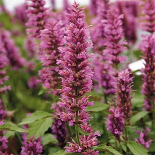 What a gift Agastache is to the garden, with its aromatic foliage and tall, carefree bloom spikes that signal welcome to all butterflies, bees, and hummingbirds! This new variety improves on older ones by offering a more compact habit and adding dark burgundy stems to the color play of lavender blooms and grayish foliage. You will love it in the sunny garden or large containers.'Rose Mint' packs more color into every inch, flowering all summer (and into autumn in warm climates). The lavender…