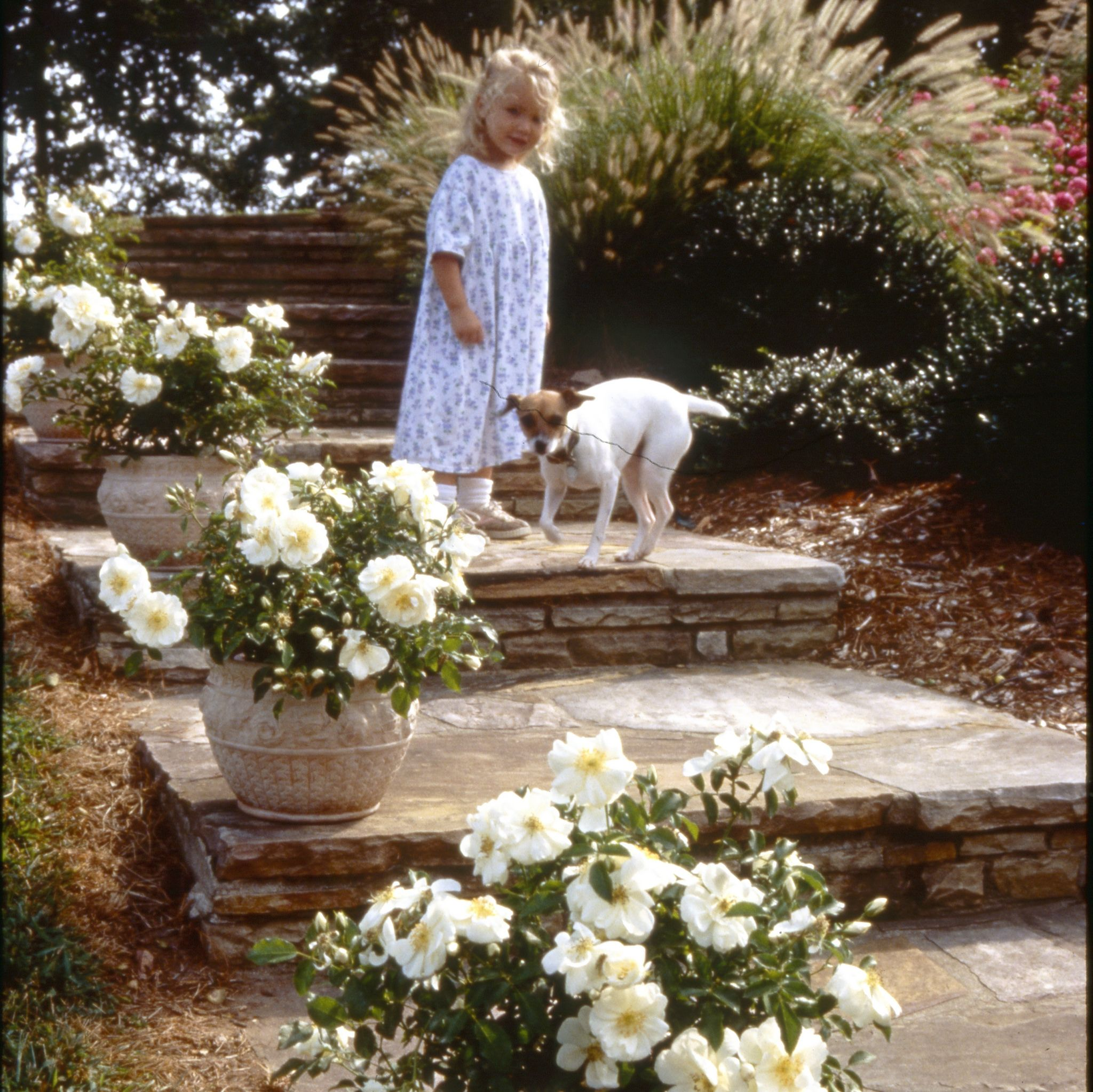 These flower carpet white roses from soften the edge of stone stairs these flower carpet white roses from soften the edge of stone stairs when planted in containers mightylinksfo