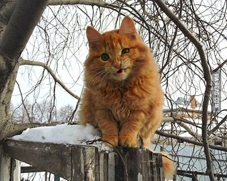 Hey, do not stand too close - I tiger, not pussy! Siberian farm cats.