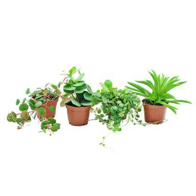 Peperomia Mix 10 Cm Kwiaty Doniczkowe W Atrakcyjnej Cenie W Sklepach Leroy Merlin Plants Peperomia Planters