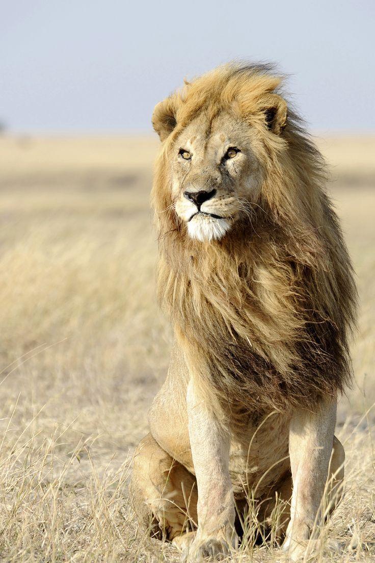 Stattlicher Löwemann. Löwen leben 10 bis 14 Jahre in