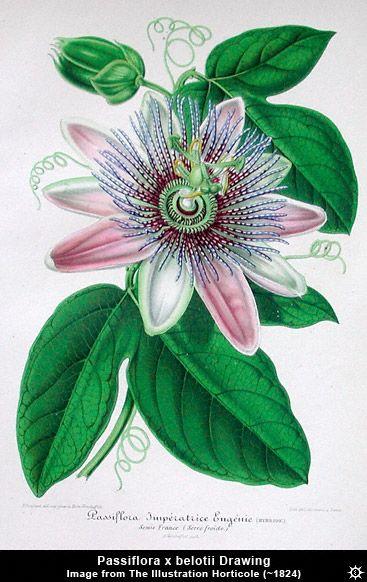 Images Passiflora X Belotii Drawing Botanical Drawings Botanical Art Botanical Prints