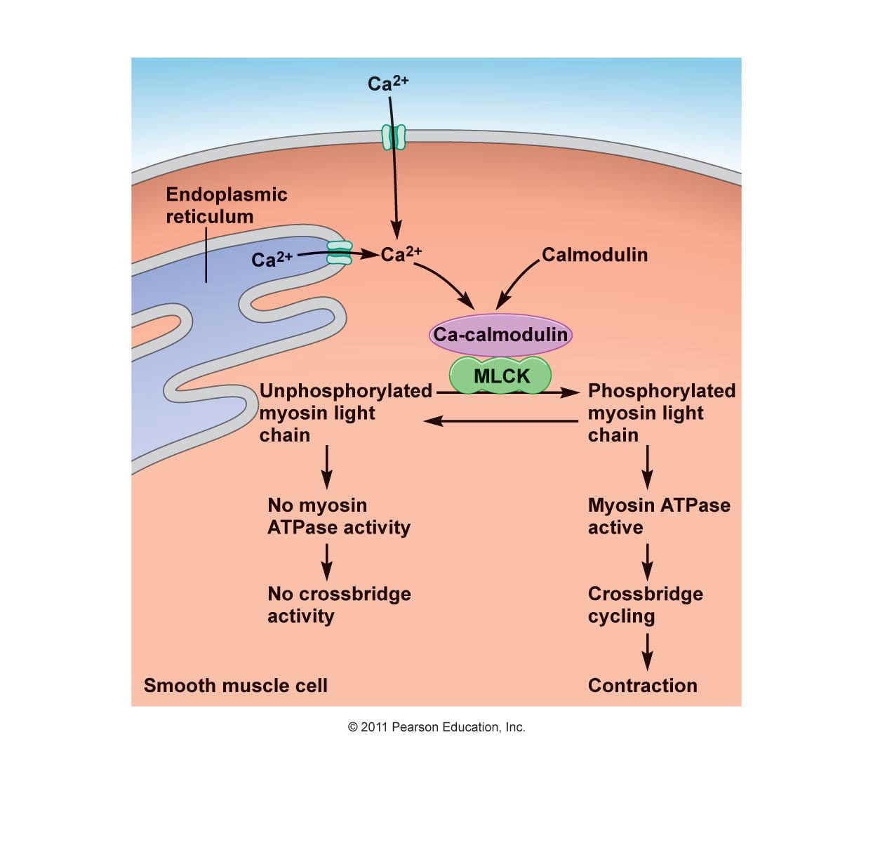 Smooth muscle contraction | Physiology | Pinterest | Muscle contraction