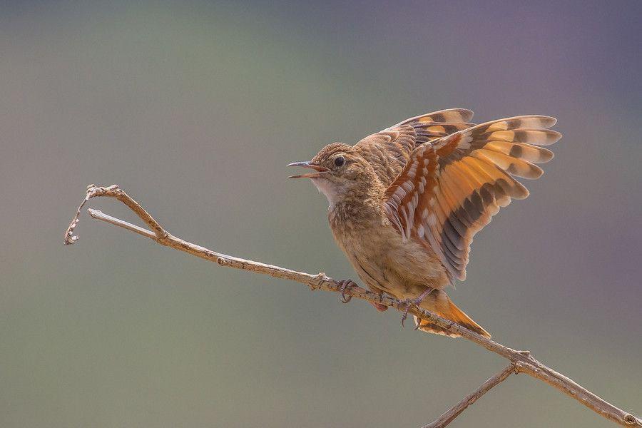Campo Miner (Brazilian Bird)