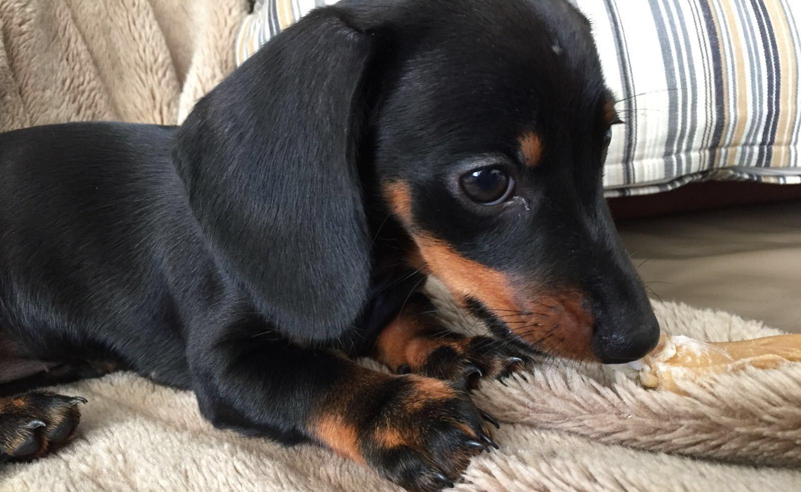 Baby Suus Dachshund Pets Baby Dachshund Winnie Dogs
