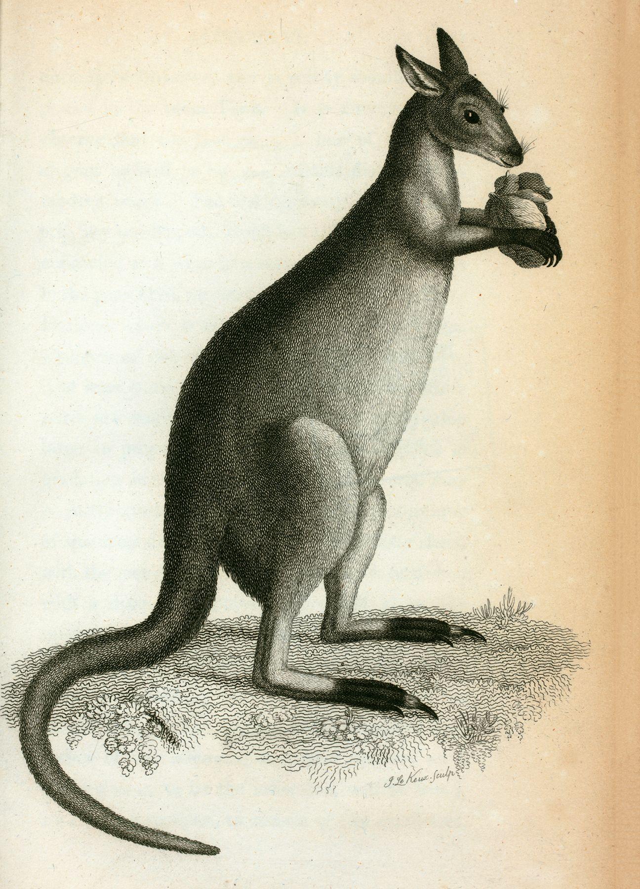Vintage Natural History Kangaroo Image