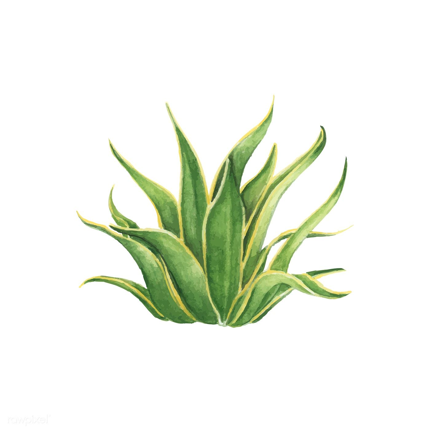 Cactus Porn Dibujo download premium vector of hand drawn american aloe century