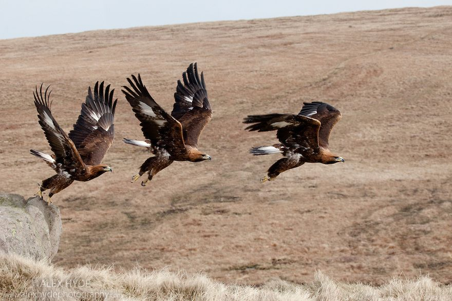 Eagles In Flight Golden Eagle Aquila Chrysaetos Taking Off