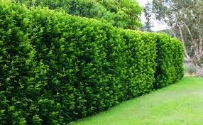 Image result for backyard bliss lilly pilly melbourne ...