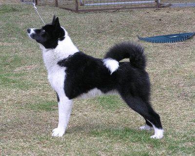 karelian bear dogs - beautiful