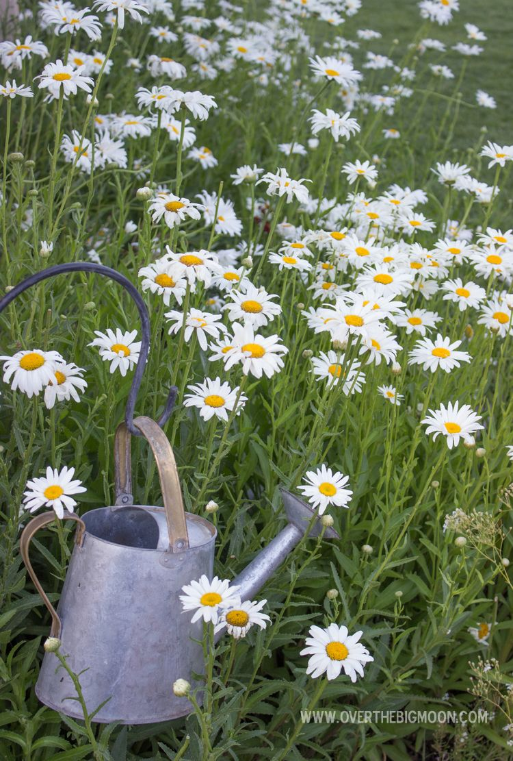 Garden Daisy. Daisy flower: planting and care 15
