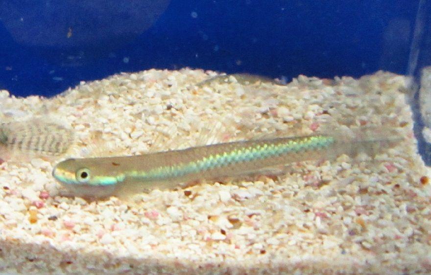 Fw1375851007 Neon Blue Stiphodon Goby Live Freshwater Mit Bildern