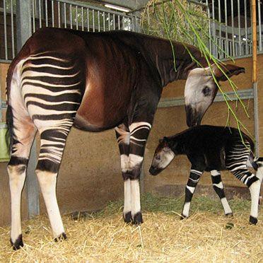 Wilhelma Okapi Animals Pinterest