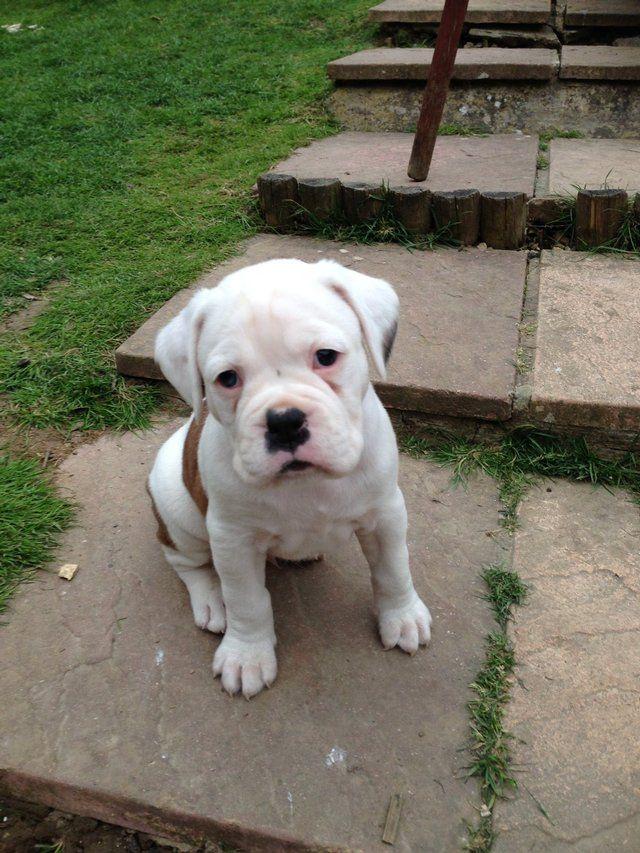 White Boxer Puppies For Sale Near Me : white, boxer, puppies, Puppies, Boxer, Puppies,, White