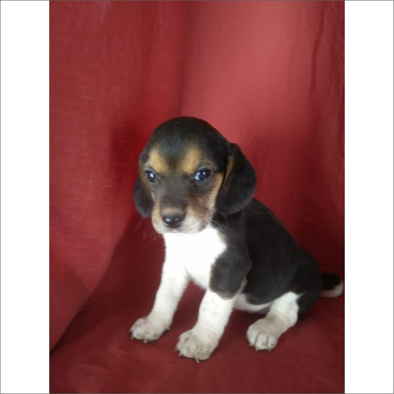 Beagle Puppy For Sale In Tucson Az Adn 58505 On Puppyfinder Com