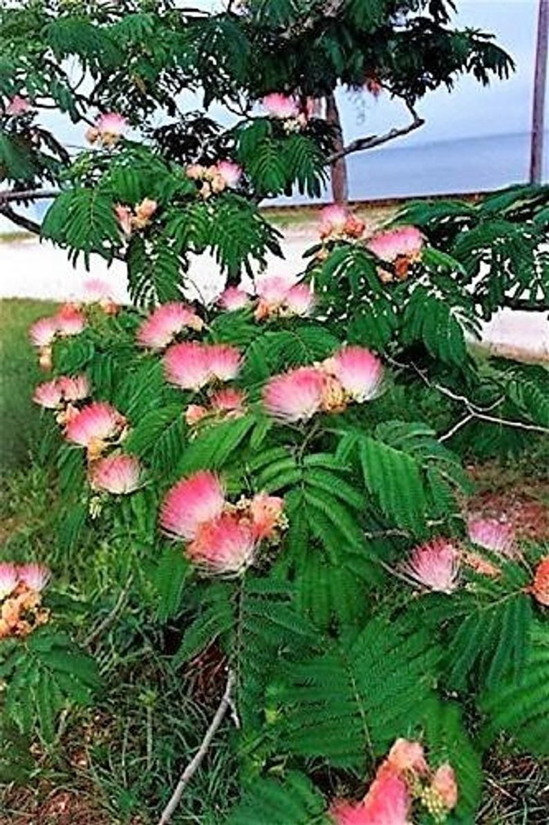 25 Mimosa Persian Silk Tree Albizia Julibrissin Seeds Etsy Mimosa Tree Trees To Plant Persian Silk Tree