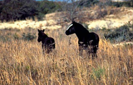 ocracoke ponies - Google Search