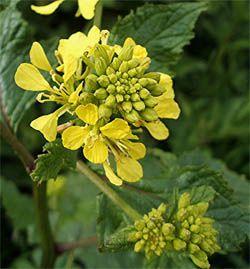 Kwiat Gorczycy Plants Bach Remedy Flowers