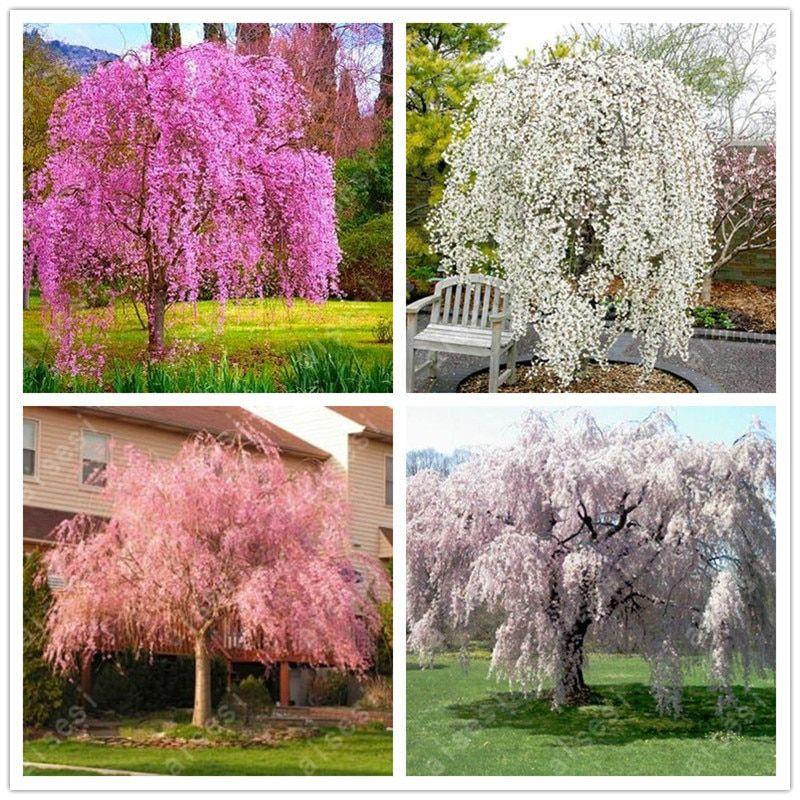 Bonsai 10 Pcs Japanese Sakura Plants Rare Japanese Cherry Blossoms Pink Flowers In Indoor Plant Bonsai Tree Bonsai Trees To Plant Tree Seeds Japanese Bonsai