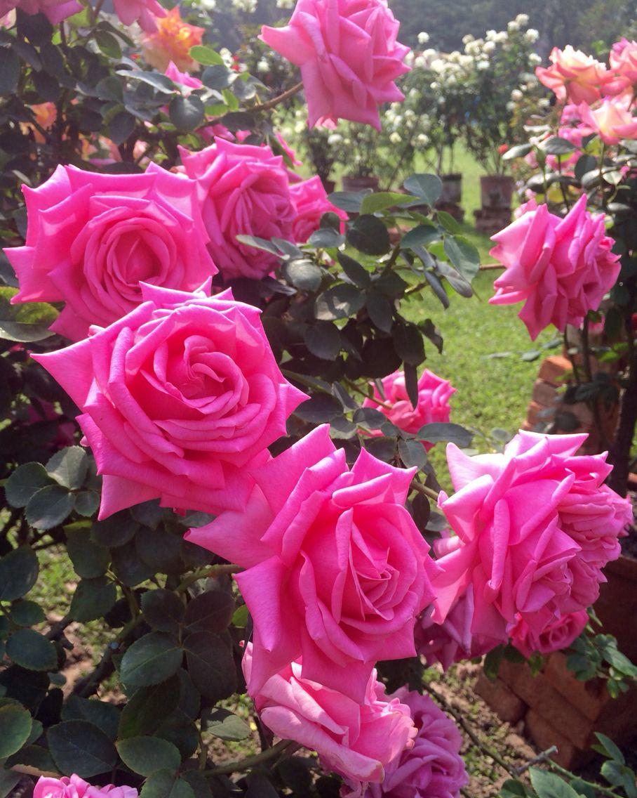Roses Calcutta India Rose Pinterest India Flowers