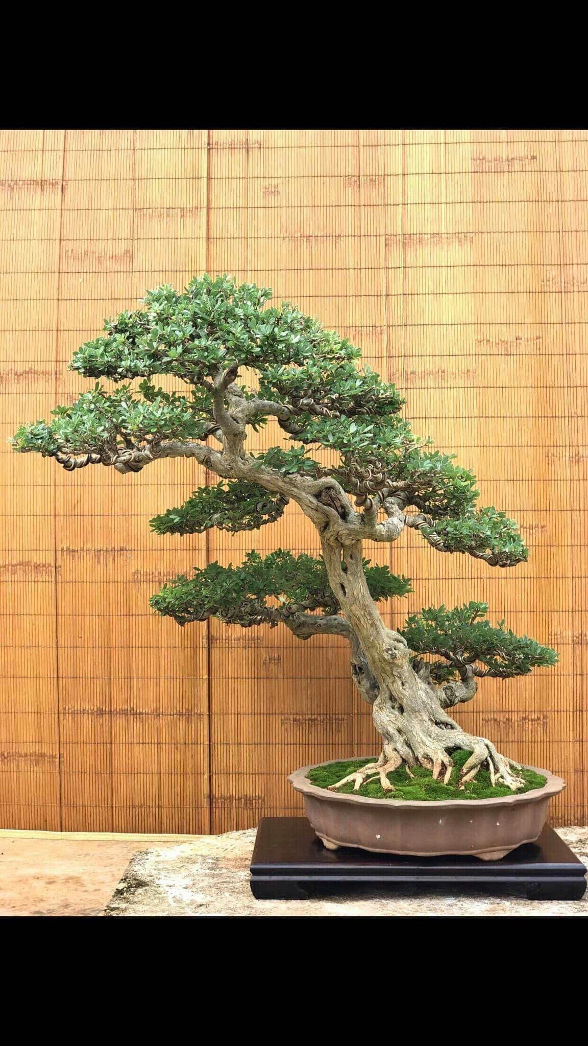 Pin By Jerry Turnbull On Bonsai Bonsai Tree Bonsai Tree Types