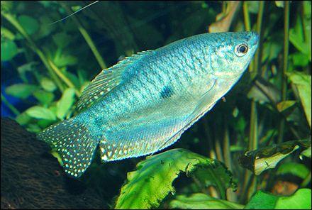 Powder Blue Gourami Aquarium Fish Tropical Fish Cool Fish