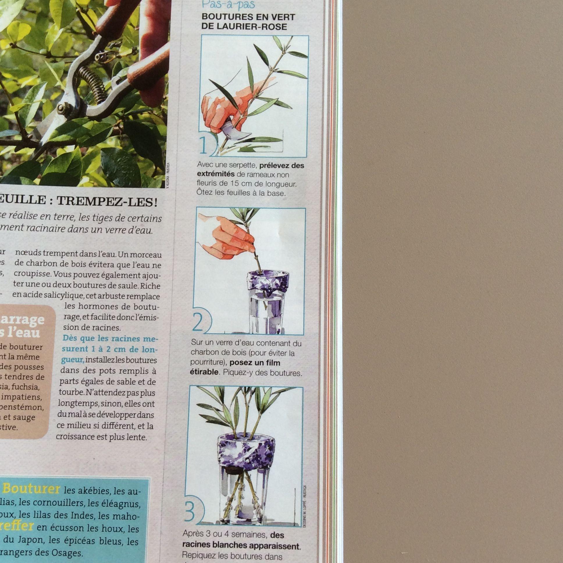 Les 25 meilleures id es de la cat gorie bouture laurier sur pinterest bouture de laurier rose - Laurier comestible comment reconnaitre ...