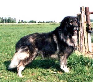 Sarplaniac Photo Sarplaninac Puppies Sarplaninac Breeders