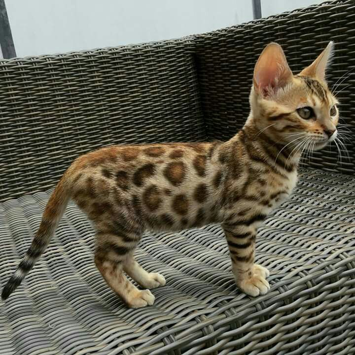 Idee van Arianne Kentin op Savannah Bengaalse kittens